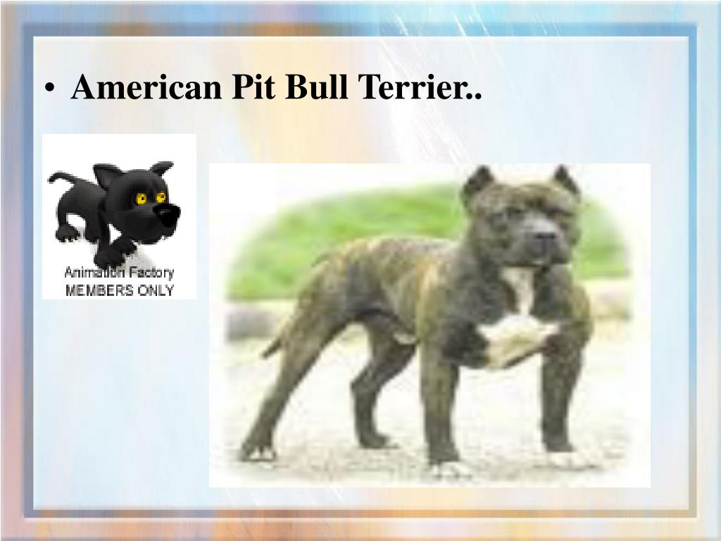 American Pit Bull Terrier..