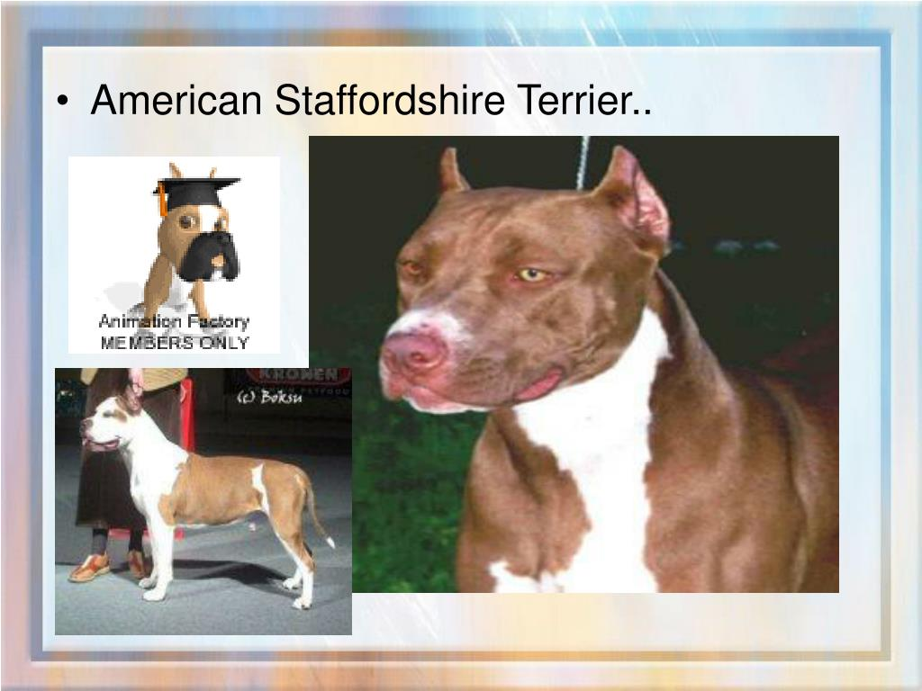 American Staffordshire Terrier..