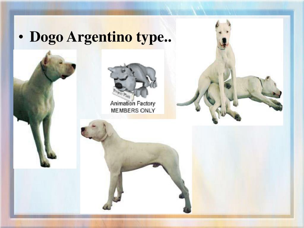 Dogo Argentino type..