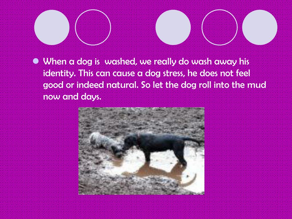 When a dog is  washed, we really do wash away his identity. This can cause a dog stress, he does not feel good or indeed natural. So let the dog roll into the mud now and days.