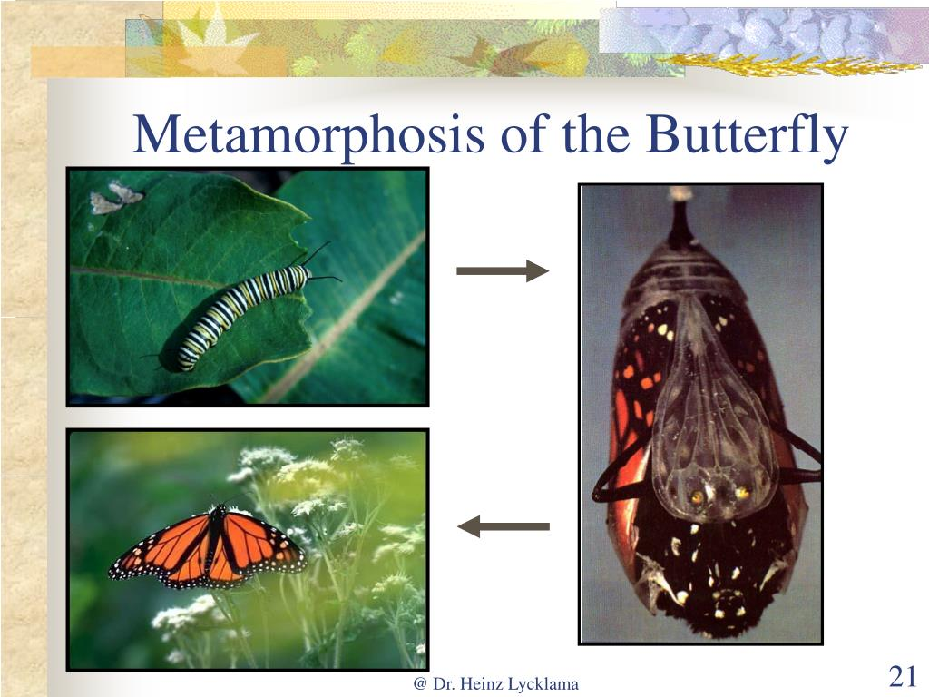 Metamorphosis of the Butterfly