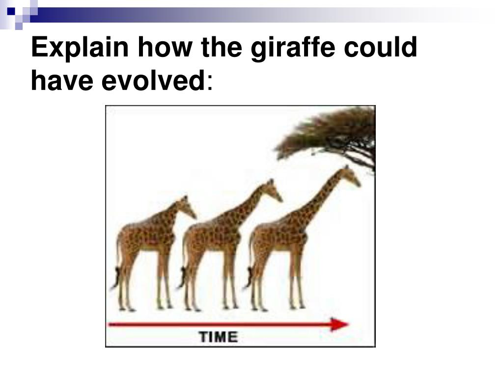 Explain how the giraffe could have evolved