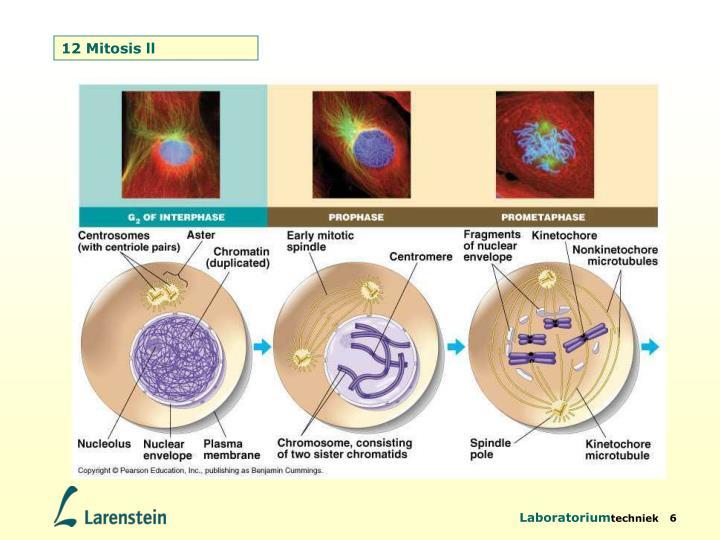 12 Mitosis ll