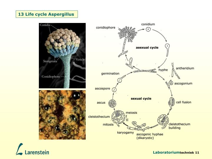 13 Life cycle Aspergillus