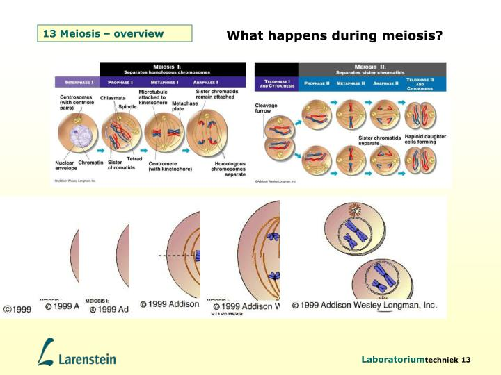 13 Meiosis – overview