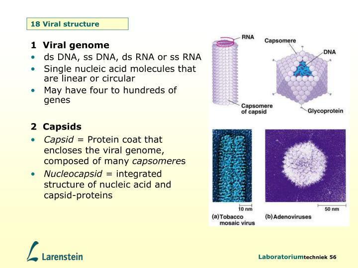 18 Viral structure