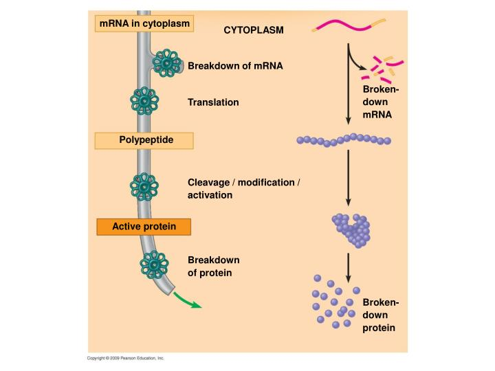 mRNA in cytoplasm
