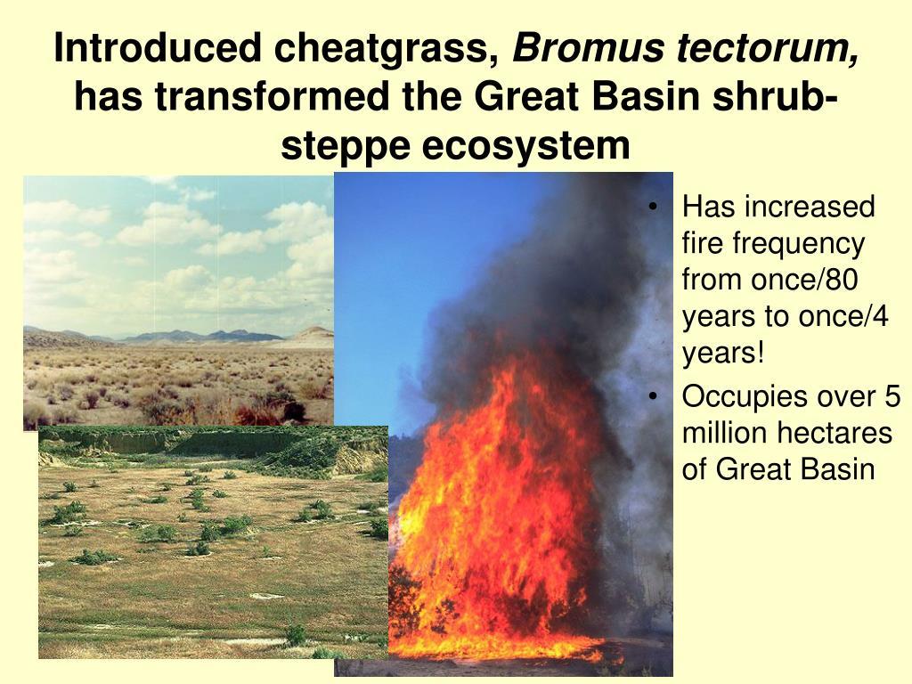 Introduced cheatgrass,
