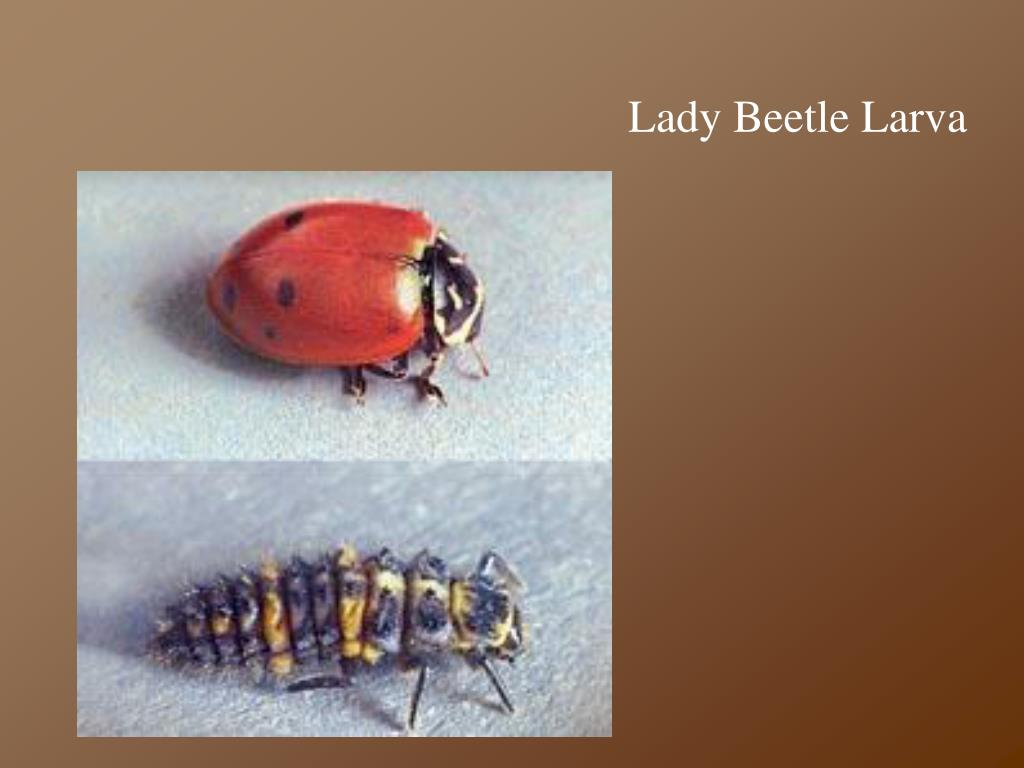Lady Beetle Larva