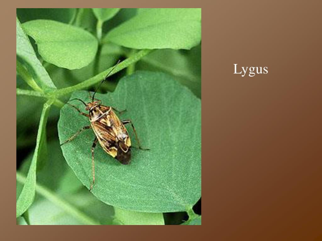Lygus