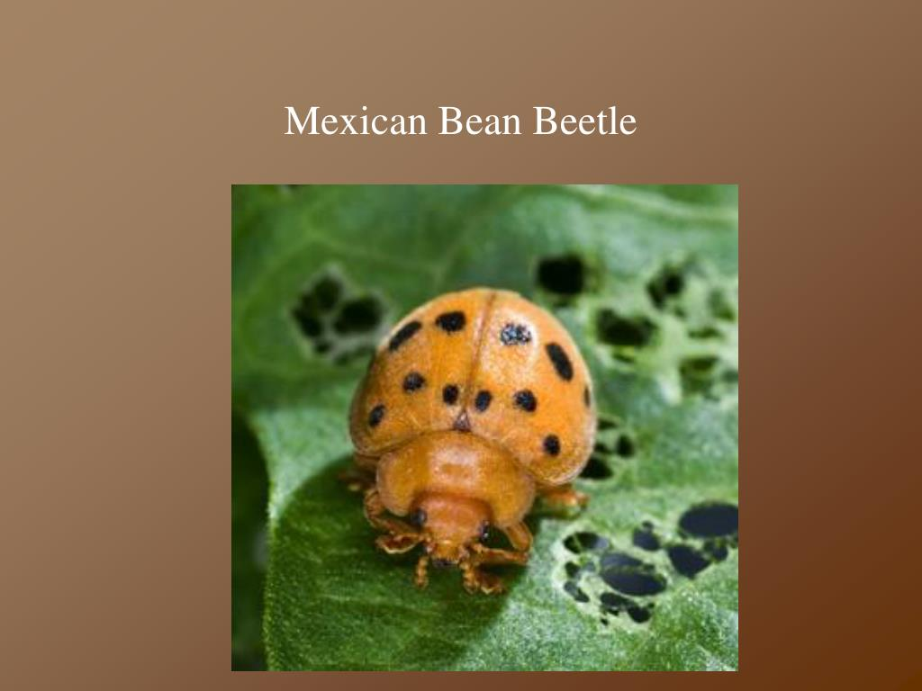 Mexican Bean Beetle