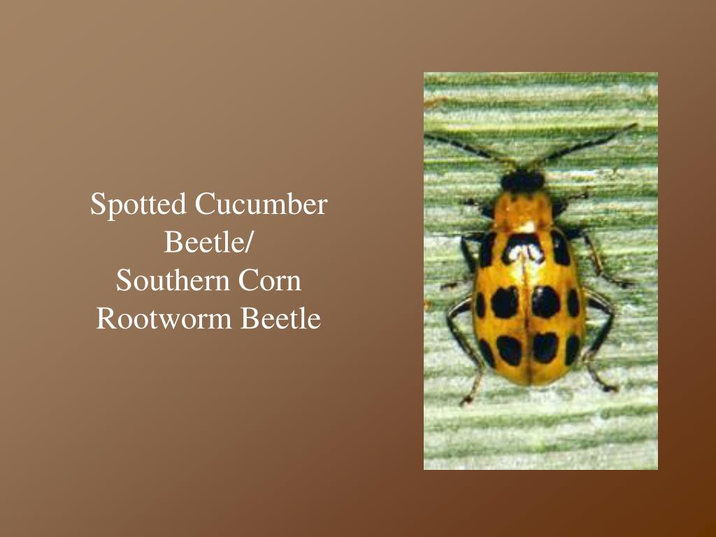 Spotted Cucumber Beetle/