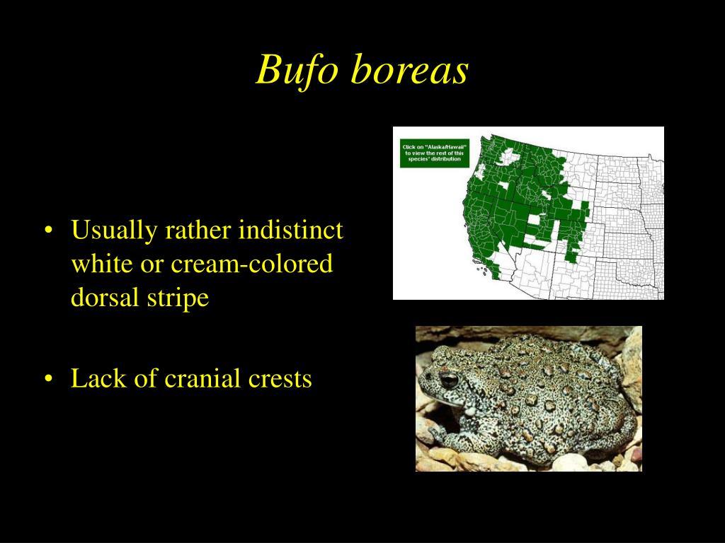 Bufo boreas