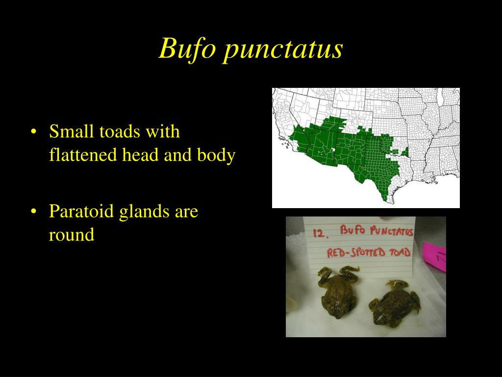 Bufo punctatus