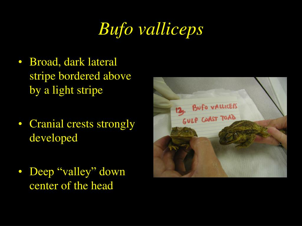 Bufo valliceps