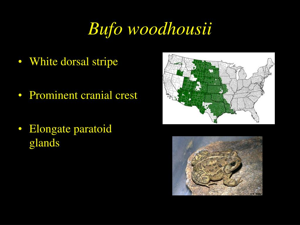 Bufo woodhousii