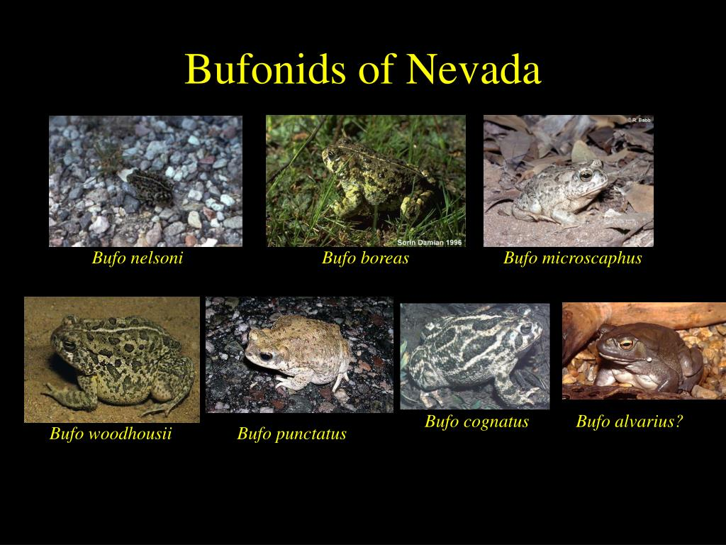 Bufonids of Nevada
