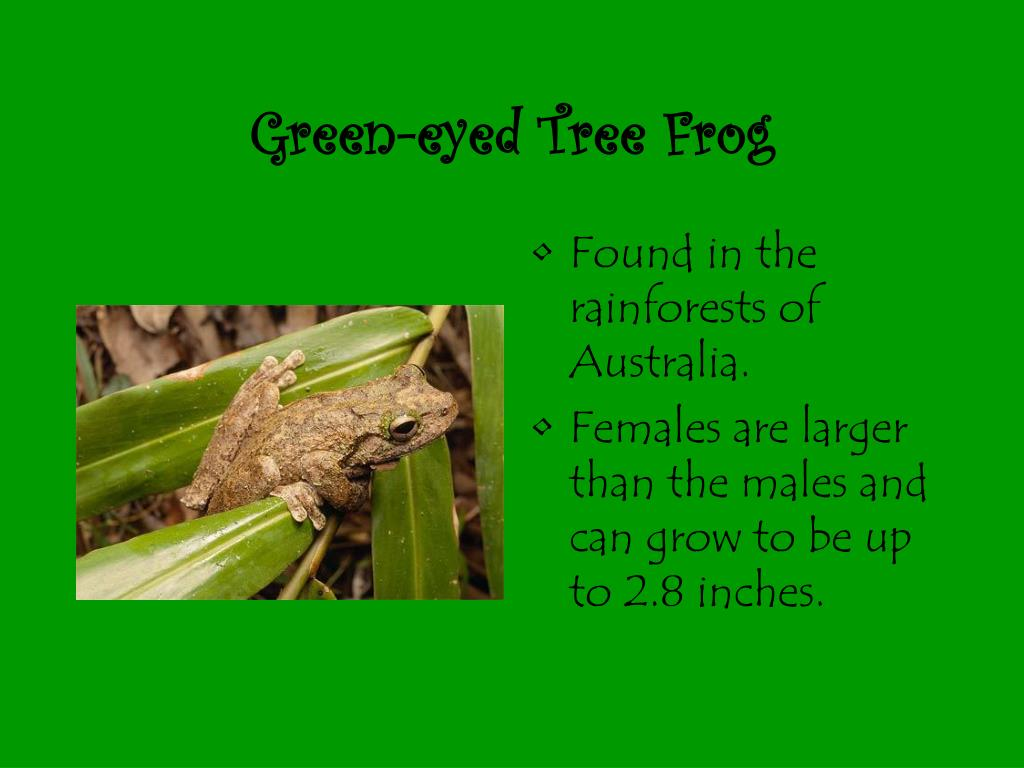 Green-eyed Tree Frog