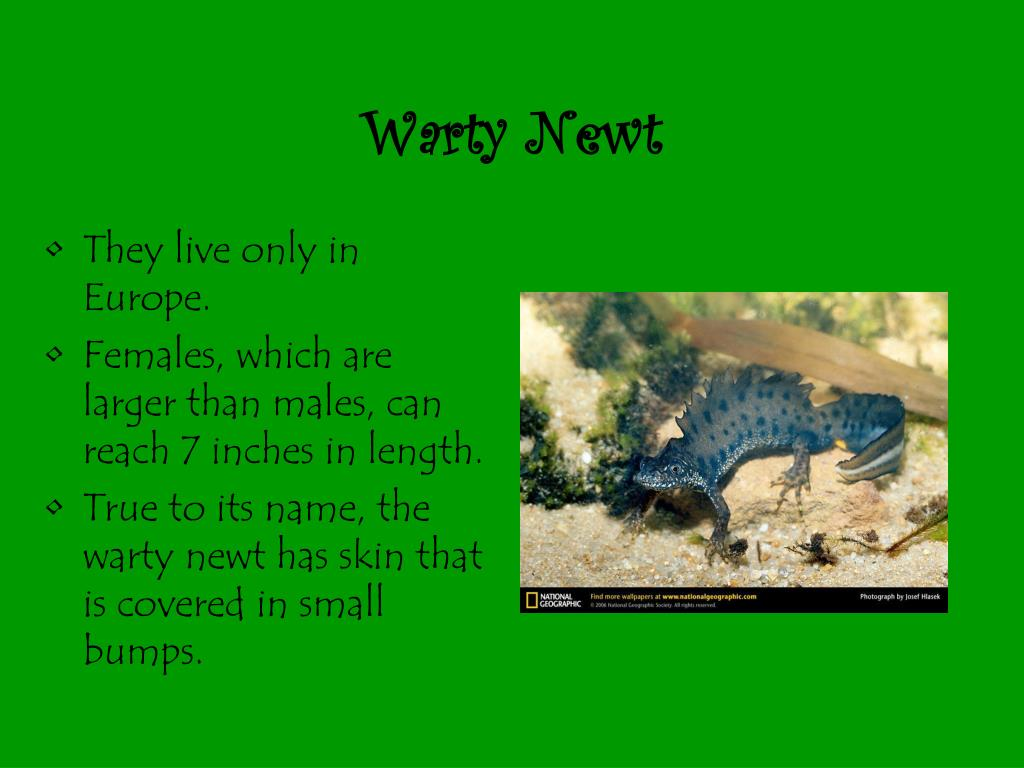 Warty Newt
