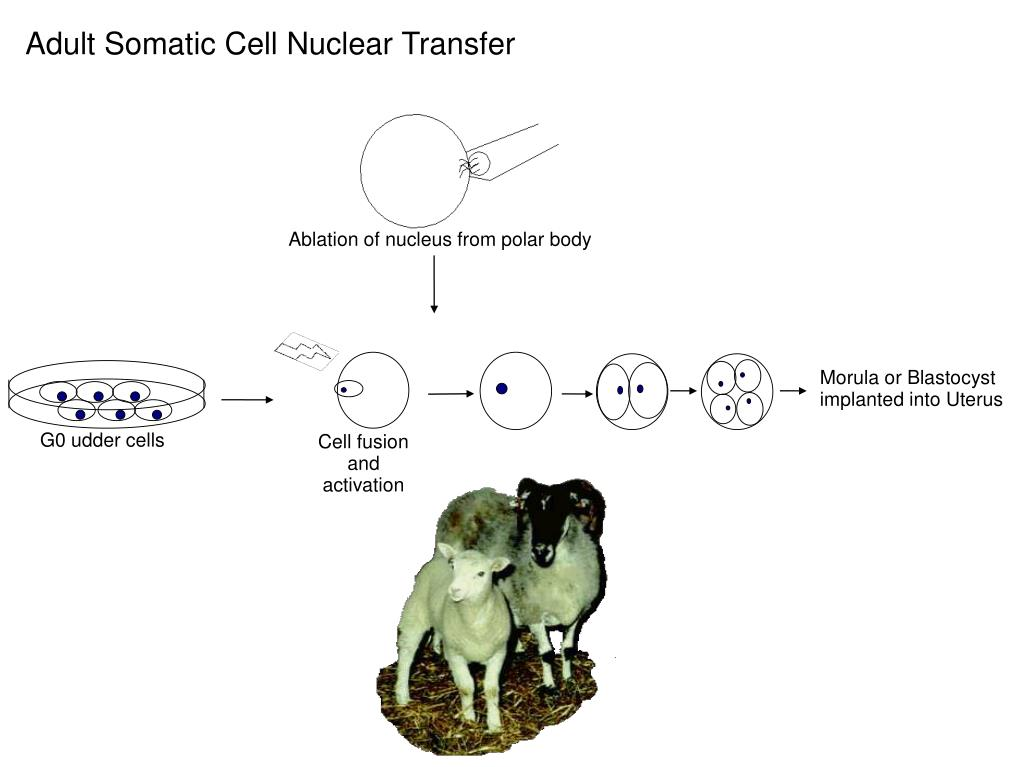 Adult Somatic Cell Nuclear Transfer