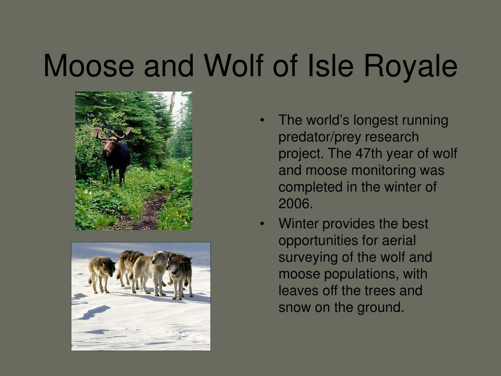 Moose and Wolf of Isle Royale