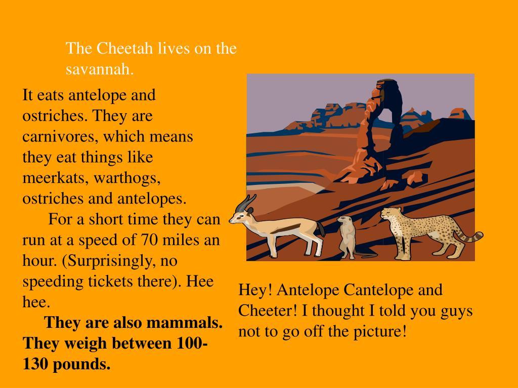 The Cheetah lives on the savannah.