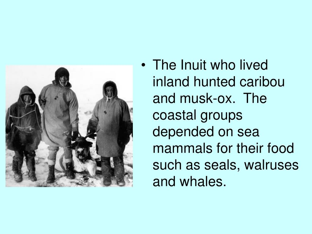 The Inuit who lived inland hunted caribou and musk-ox.  The coastal groups depended on sea mammals for their food such as seals, walruses and whales.