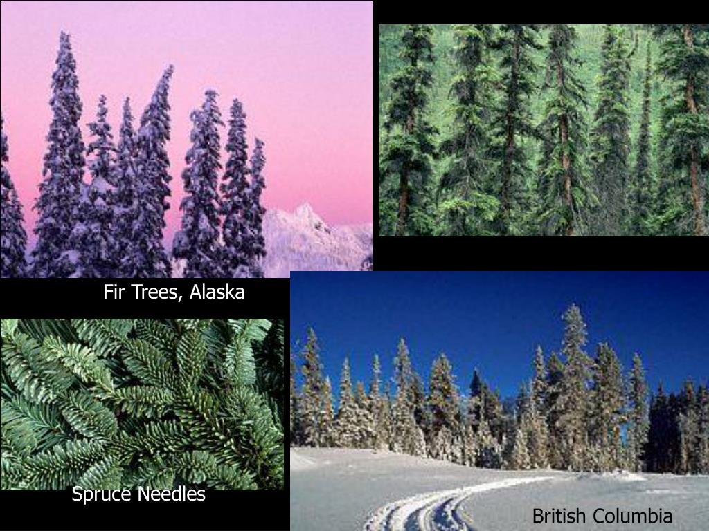 Fir Trees, Alaska