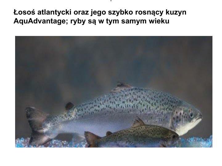 Łosoś atlantycki oraz jego szybko rosnący kuzyn AquAdvantage; ryby są w tym samym wieku