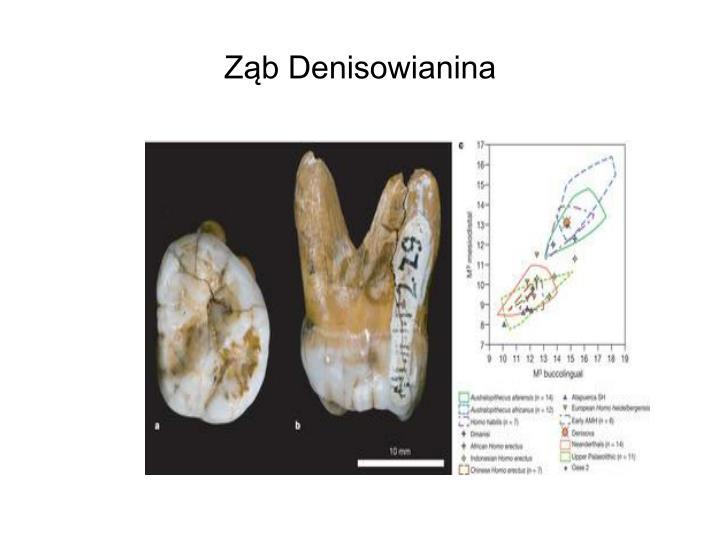Ząb Denisowianina