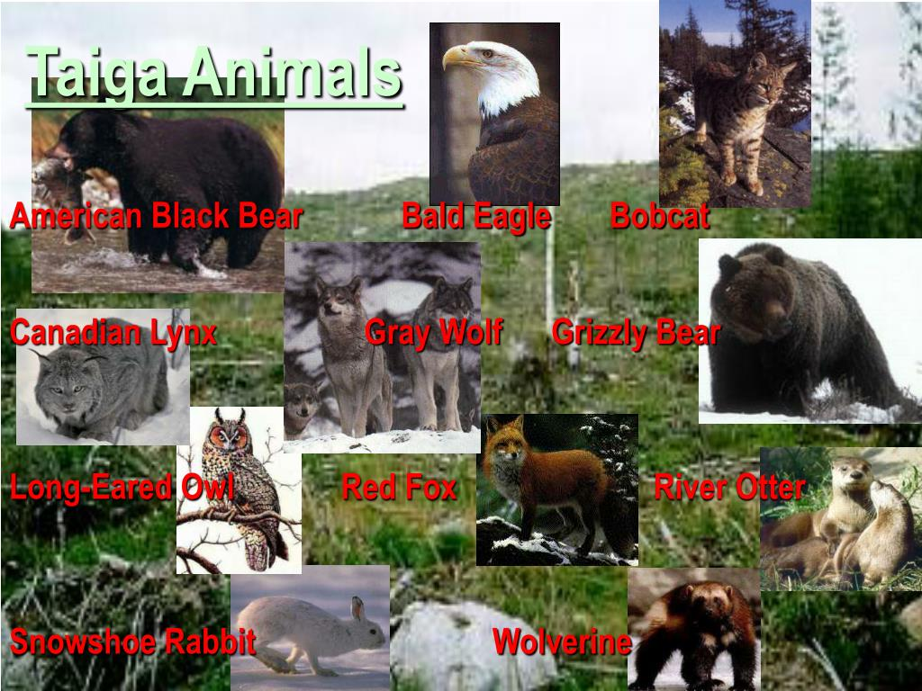 Taiga Animals