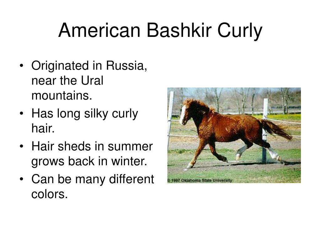 American Bashkir Curly