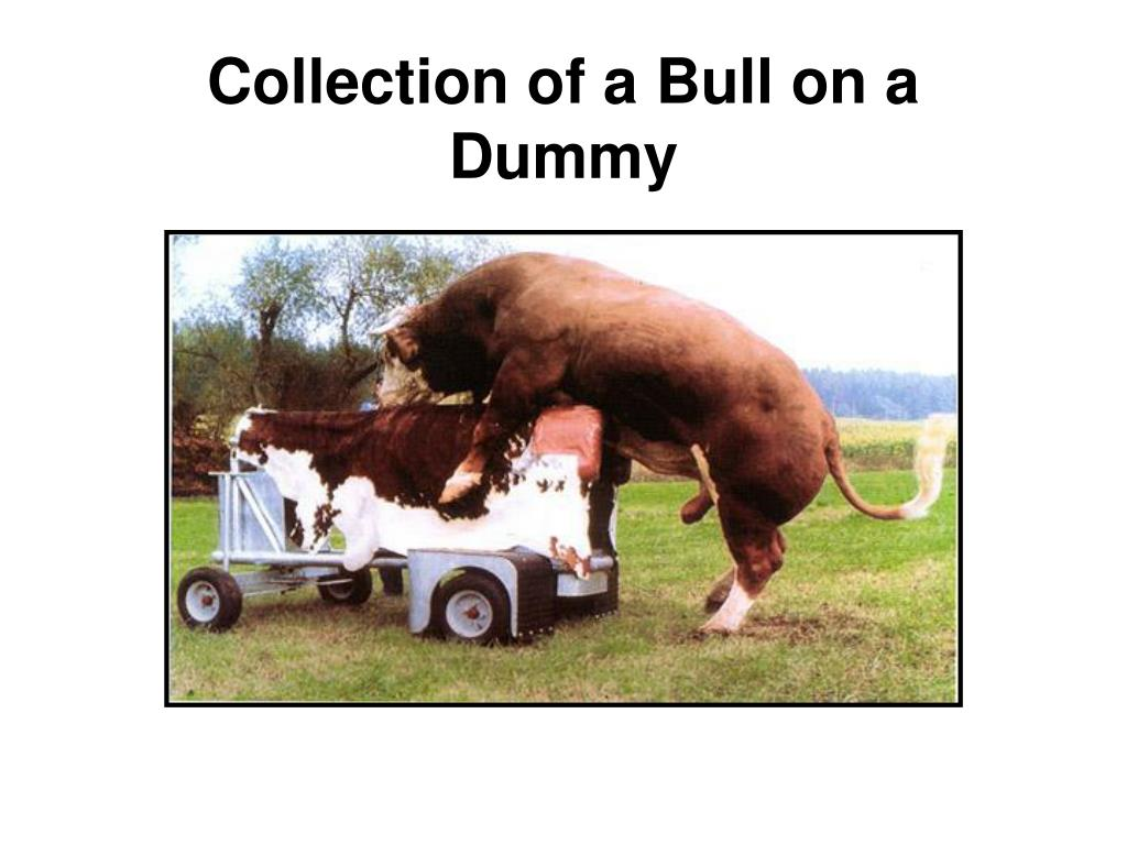 Collection of a Bull on a Dummy