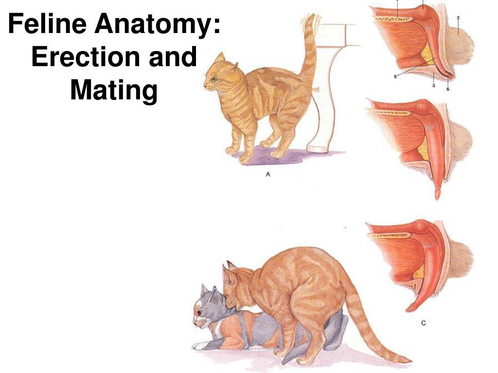 Feline Anatomy: Erection and Mating