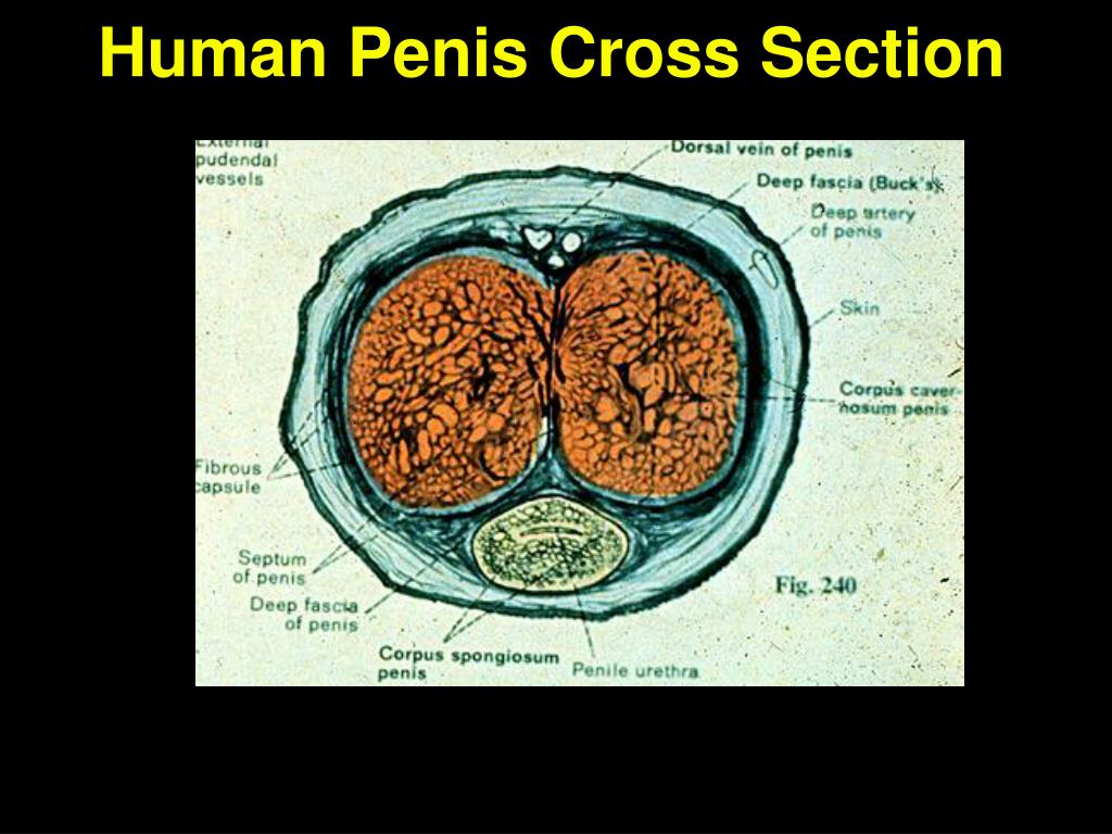 Human Penis Cross Section