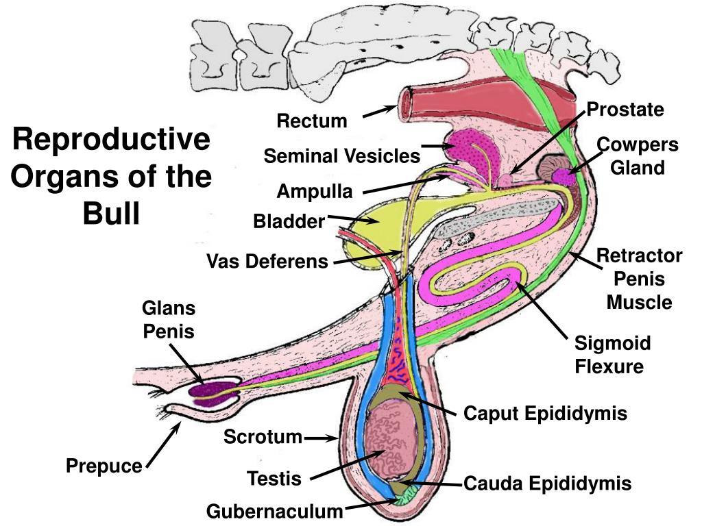 Reproductive Organs of the Bull