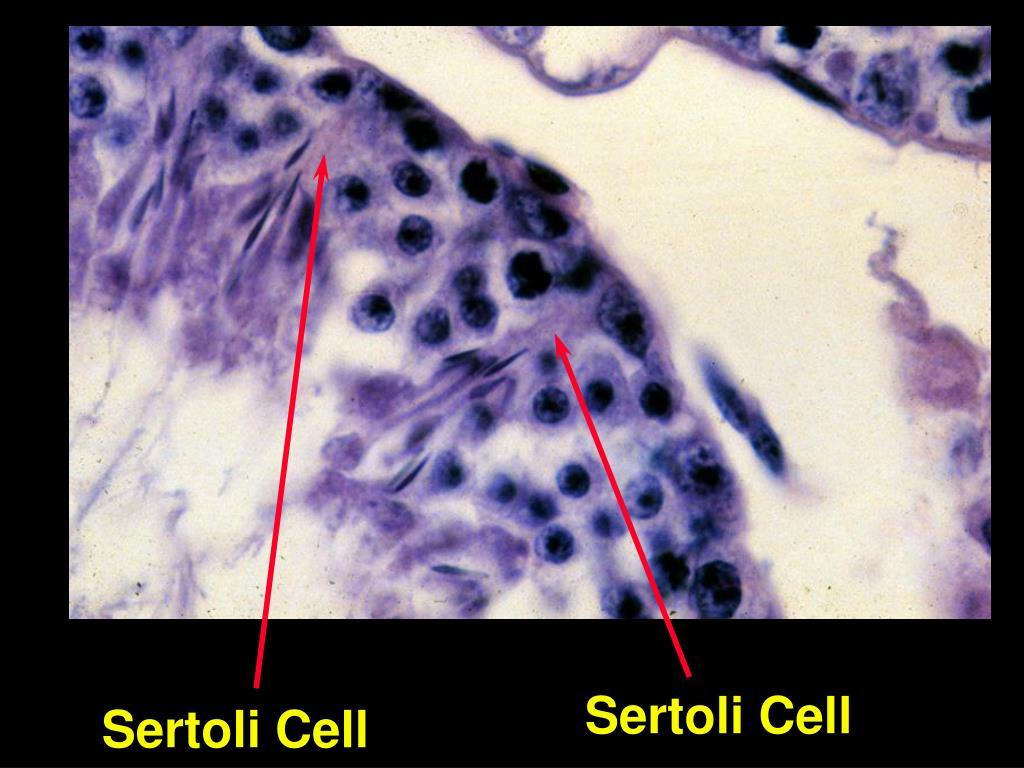 Sertoli Cell