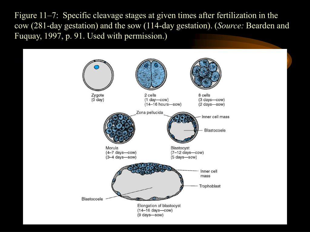 Figure 11–7:  Specific cleavage stages at given times after fertilization in the cow (281-day gestation) and the sow (114-day gestation). (