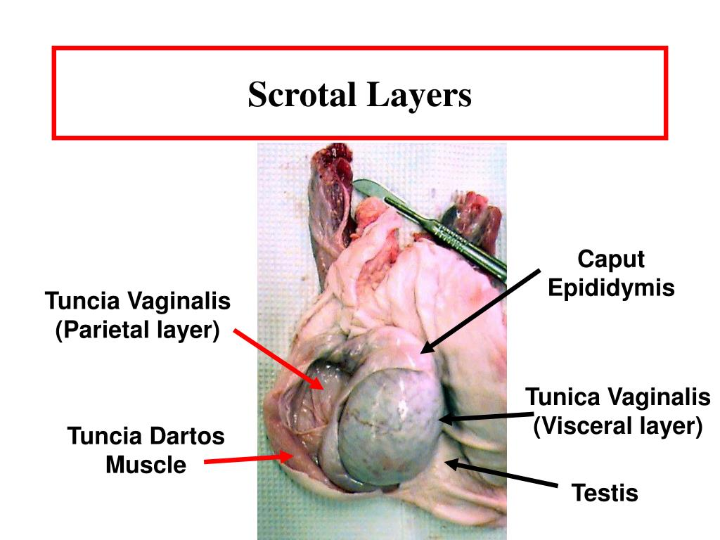 Scrotal Layers