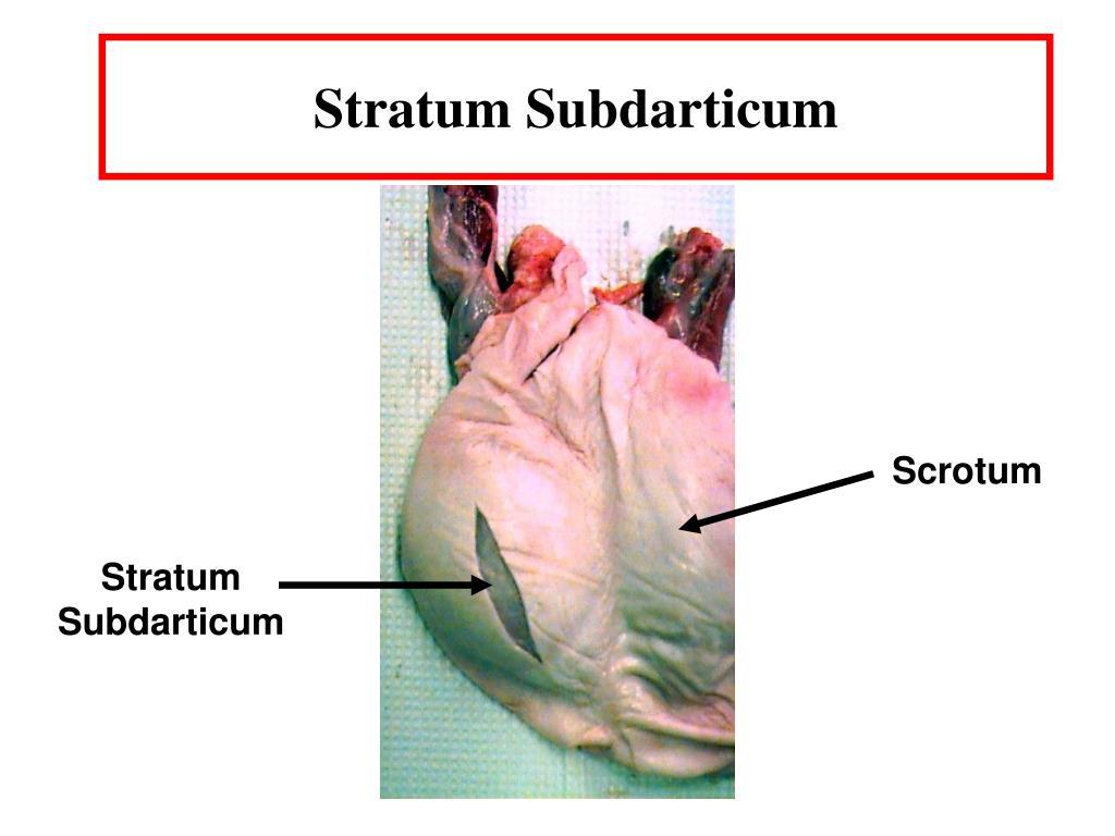 Stratum Subdarticum