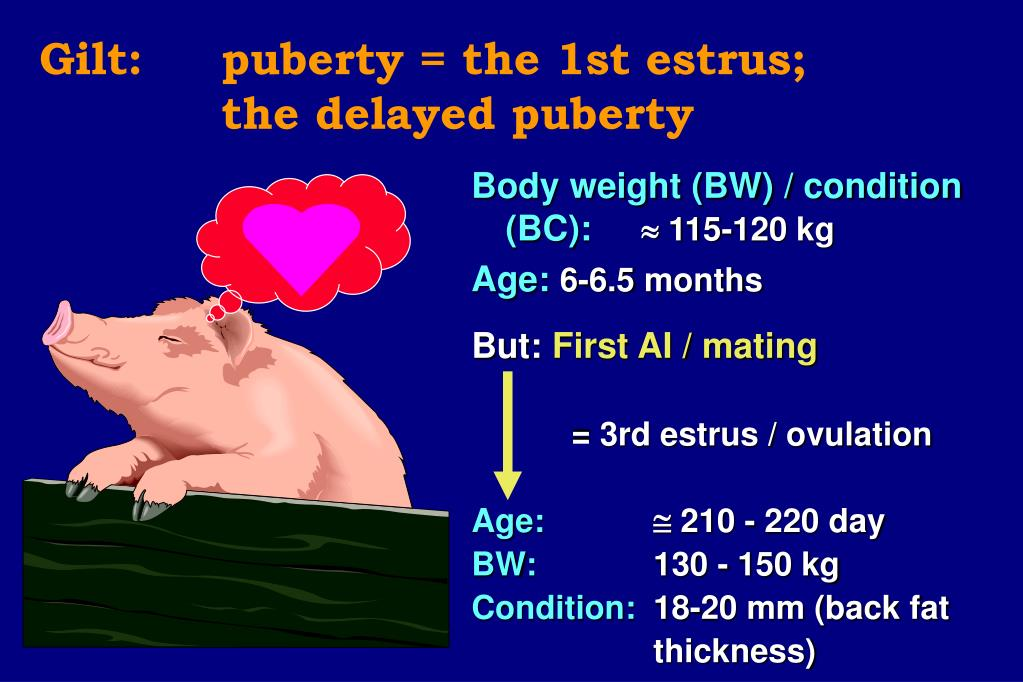 Gilt: 	puberty = the 1st estrus;