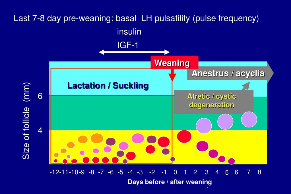 Last 7-8 day pre-weaning: basal  LH pulsatility (pulse frequency)