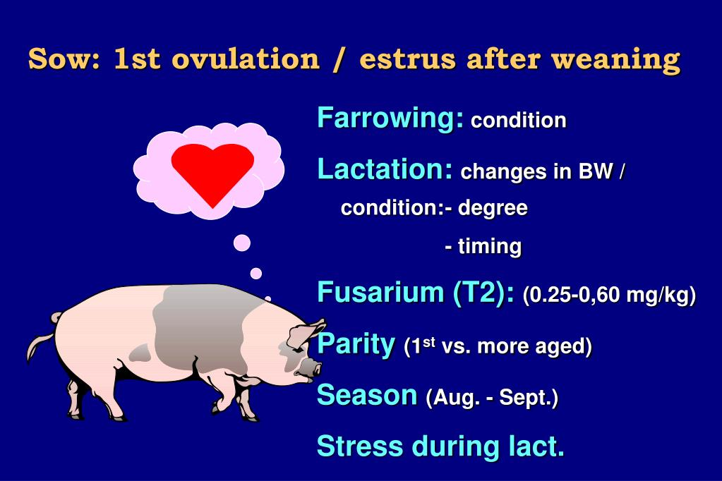 Sow: 1st ovulation / estrus after weaning