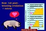 sow 1st post weaning ovulation estrus