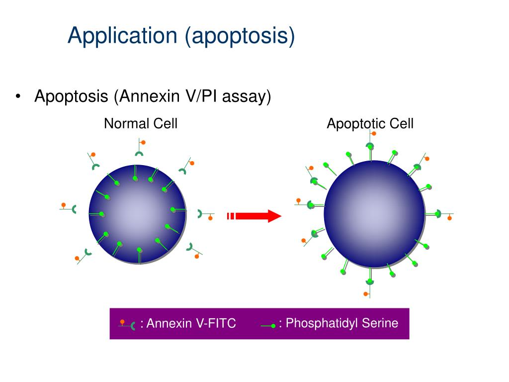 Application (apoptosis)