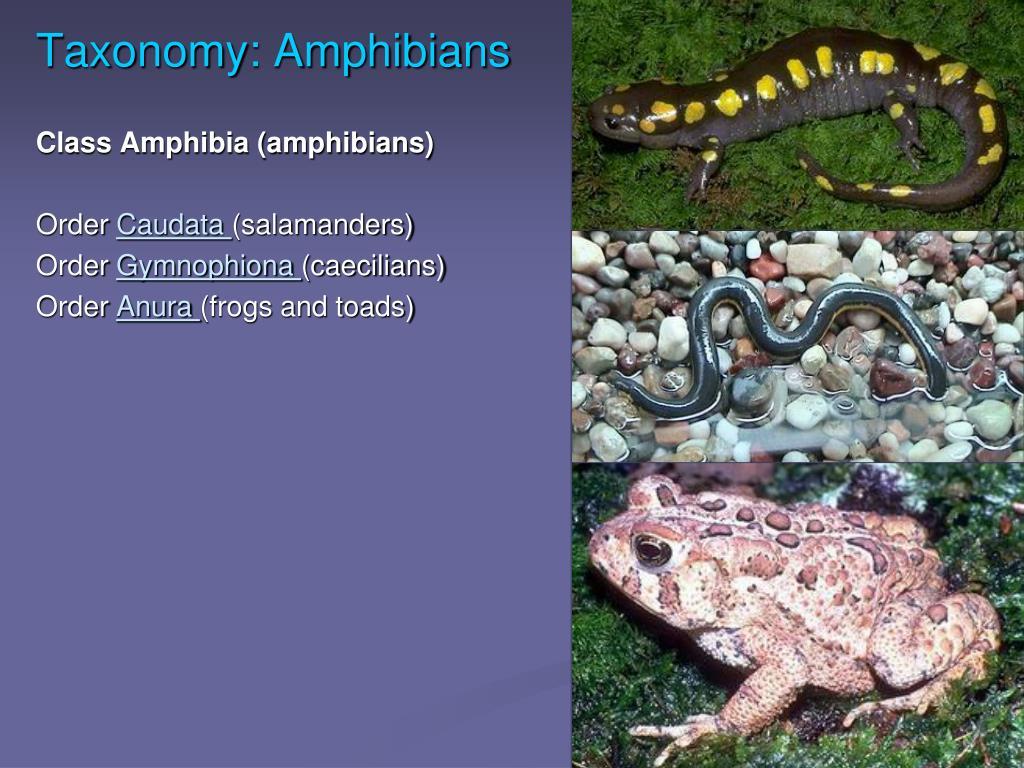 Taxonomy: Amphibians