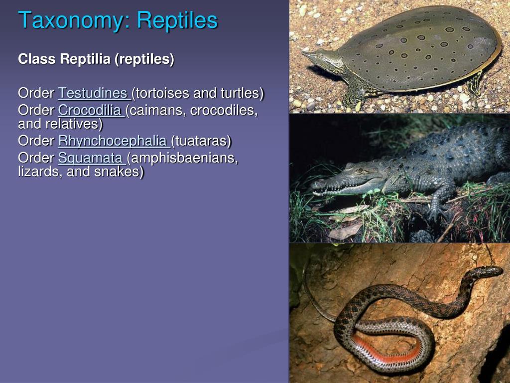 Taxonomy: Reptiles