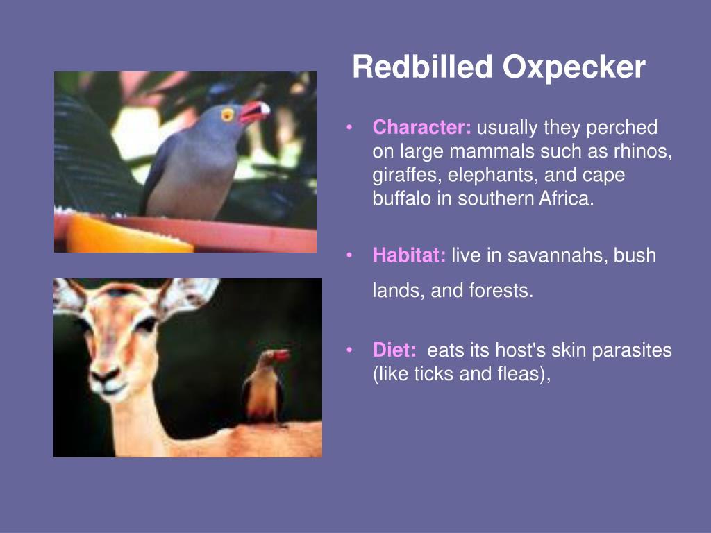 Redbilled Oxpecker