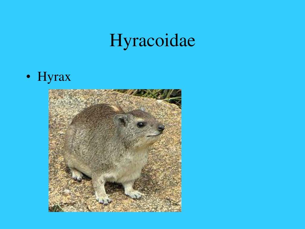 Hyracoidae