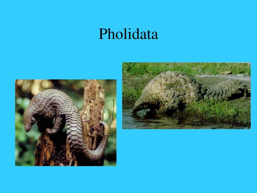 Pholidata